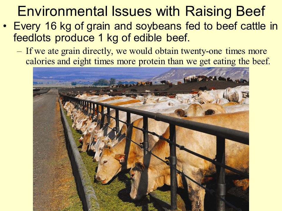 Environmental Issues with Raising Beef