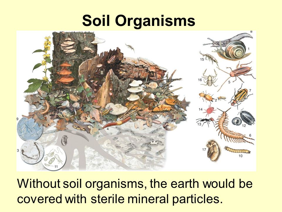 Soil Organisms Without soil organisms, the earth would be