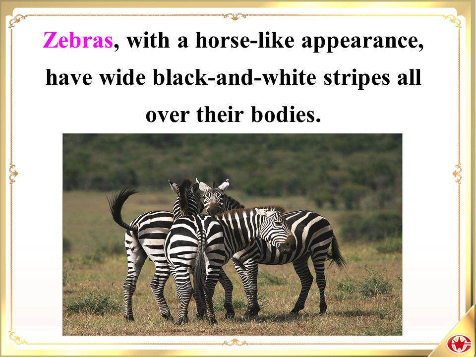 Zebras, with a horse-like appearance, have wide black-and-white stripes all over their bodies.