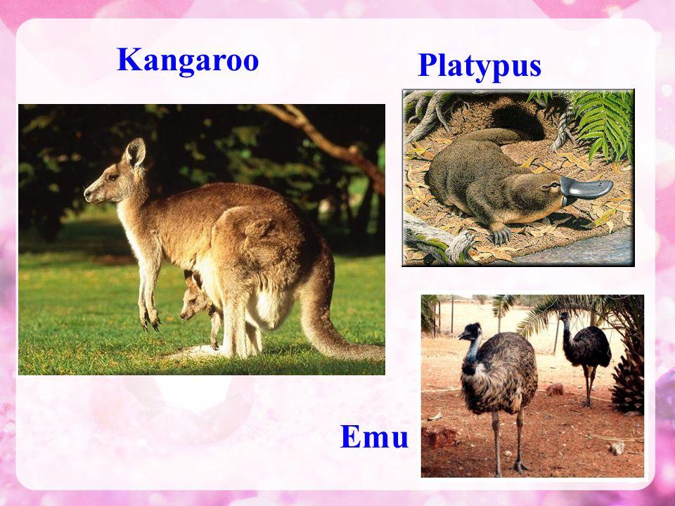 Kangaroo Platypus Emu