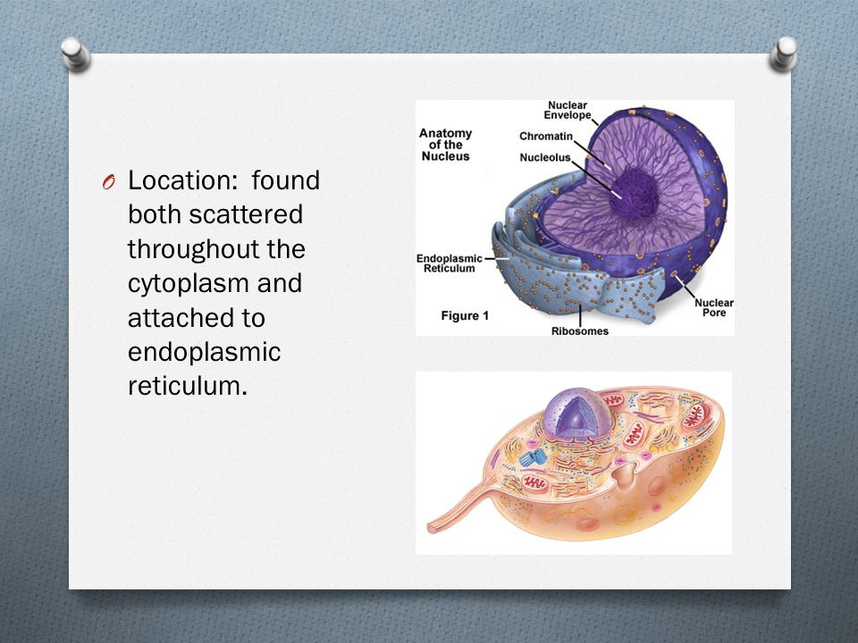 Location: found both scattered throughout the cytoplasm and attached to endoplasmic reticulum.