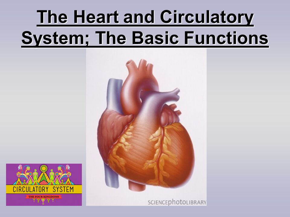 The Heart and Circulatory System; The Basic Functions