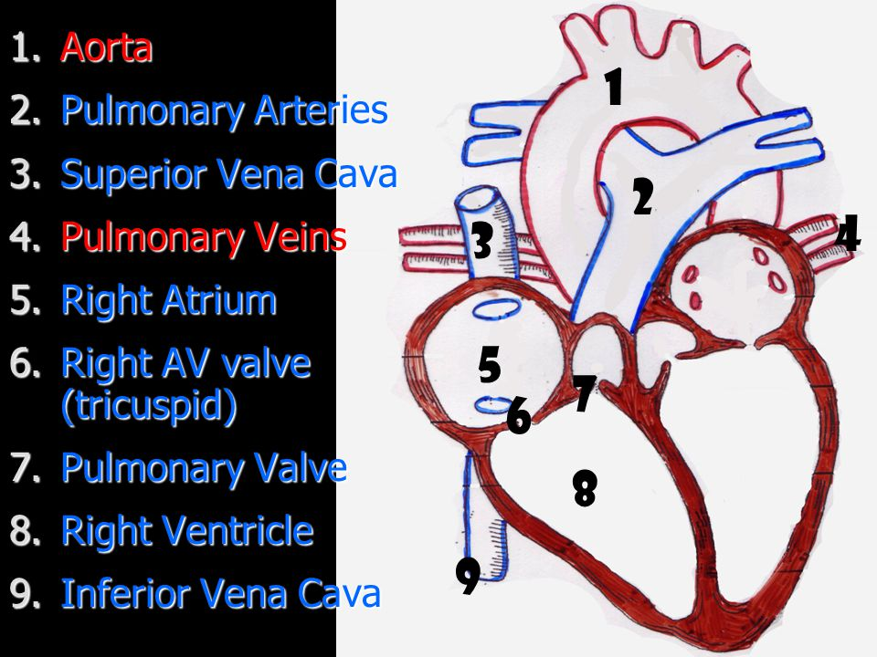 1 2 4 3 5 7 6 8 9 Aorta Pulmonary Arteries Superior Vena Cava