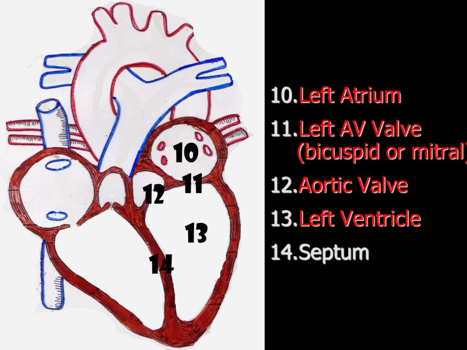 10 11 12 13 14 Left Atrium Left AV Valve (bicuspid or mitral)