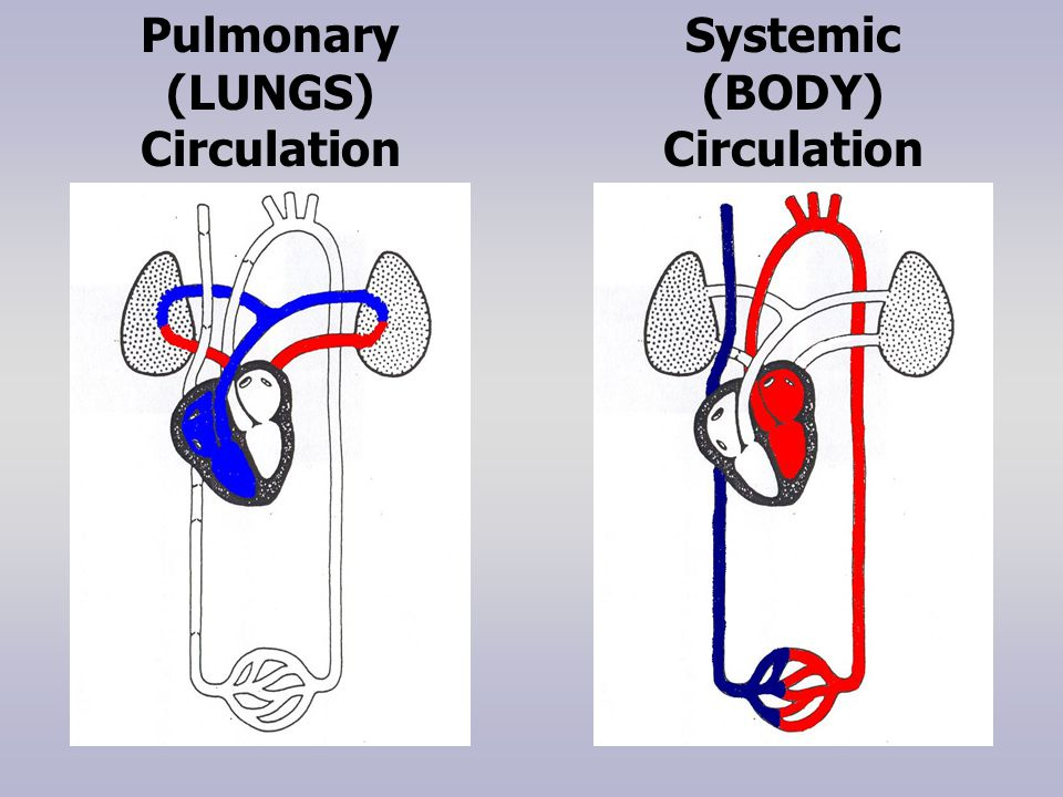 Pulmonary (LUNGS) Circulation Systemic (BODY) Circulation