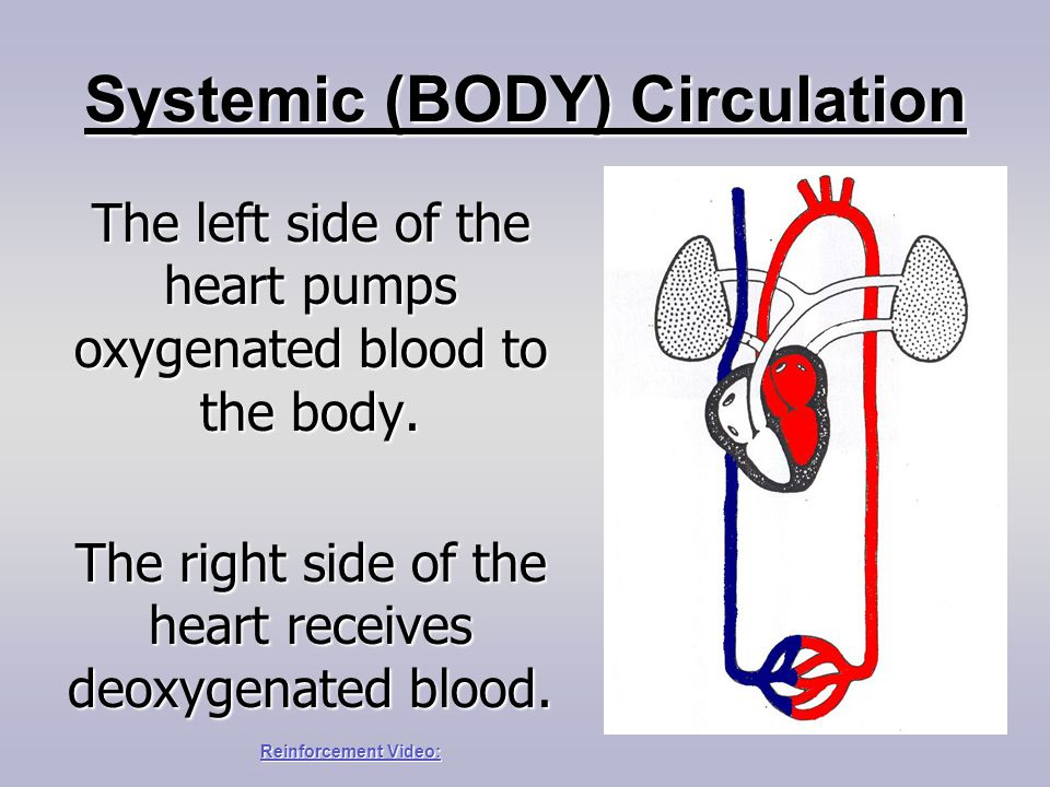 Systemic (BODY) Circulation