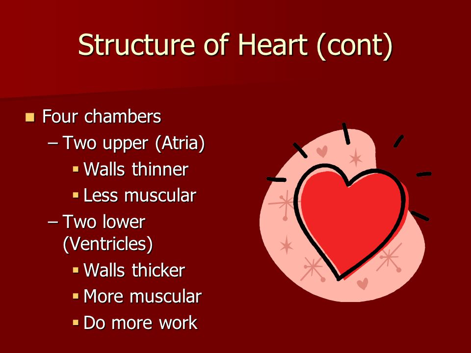 Structure of Heart (cont)