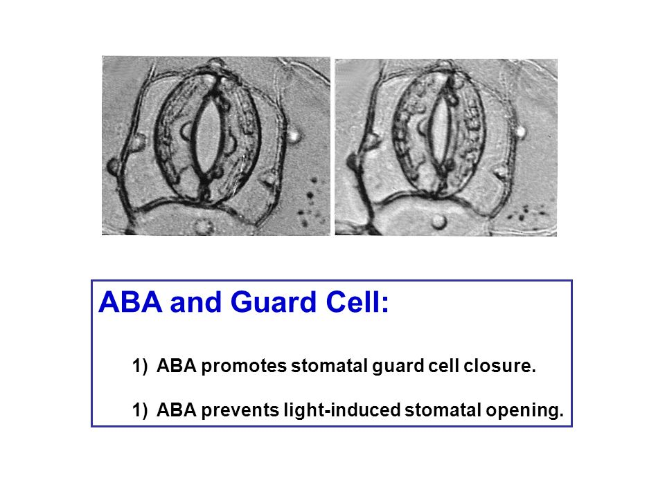 ABA and Guard Cell: ABA promotes stomatal guard cell closure.