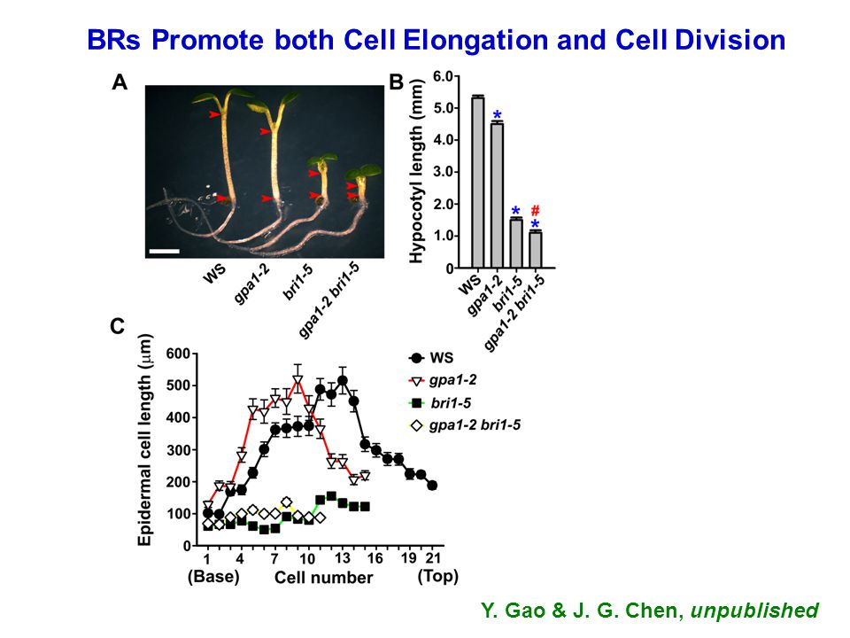 BRs Promote both Cell Elongation and Cell Division