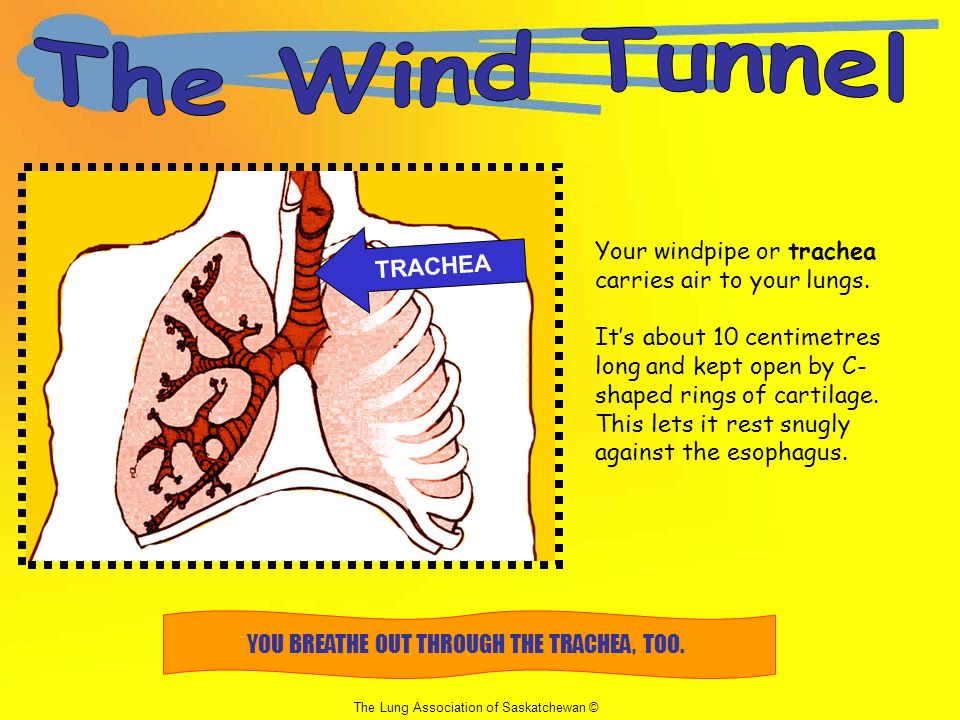 YOU BREATHE OUT THROUGH THE TRACHEA, TOO.