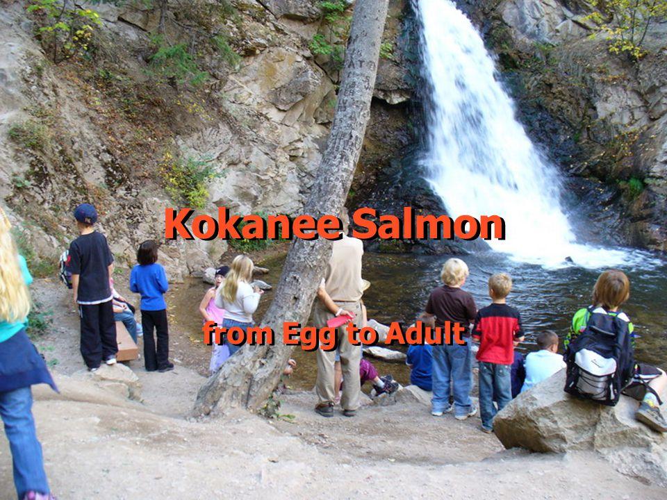Kokanee Salmon from Egg to Adult