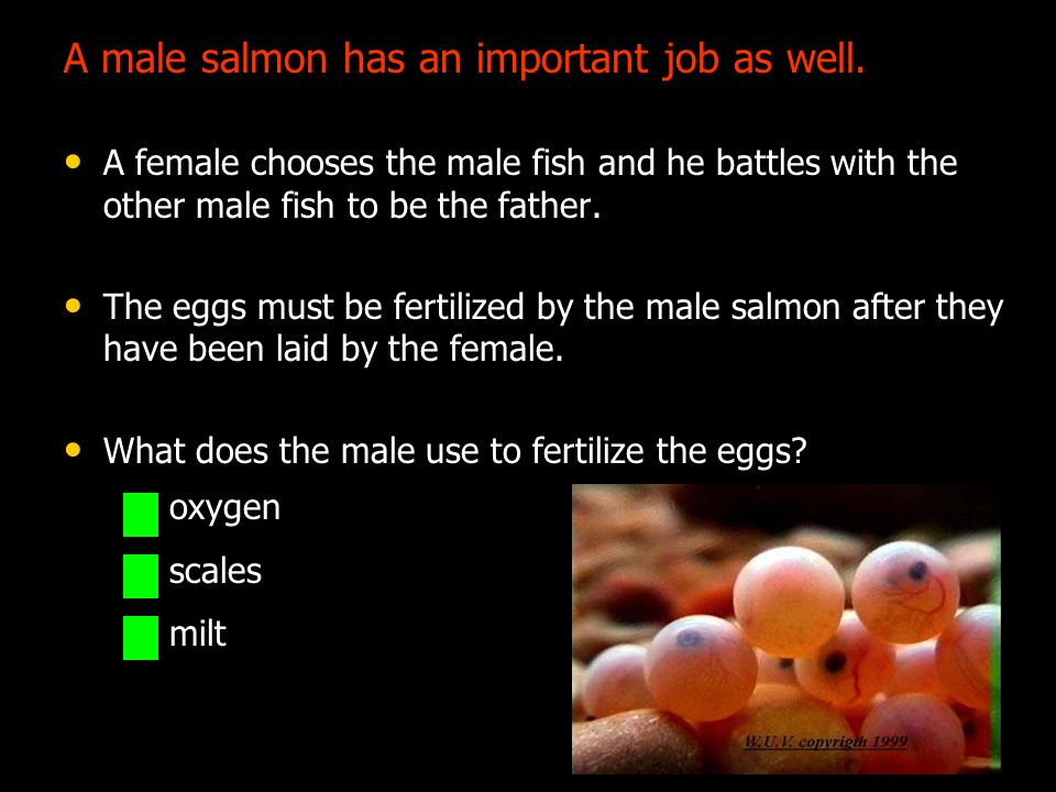 A male salmon has an important job as well.