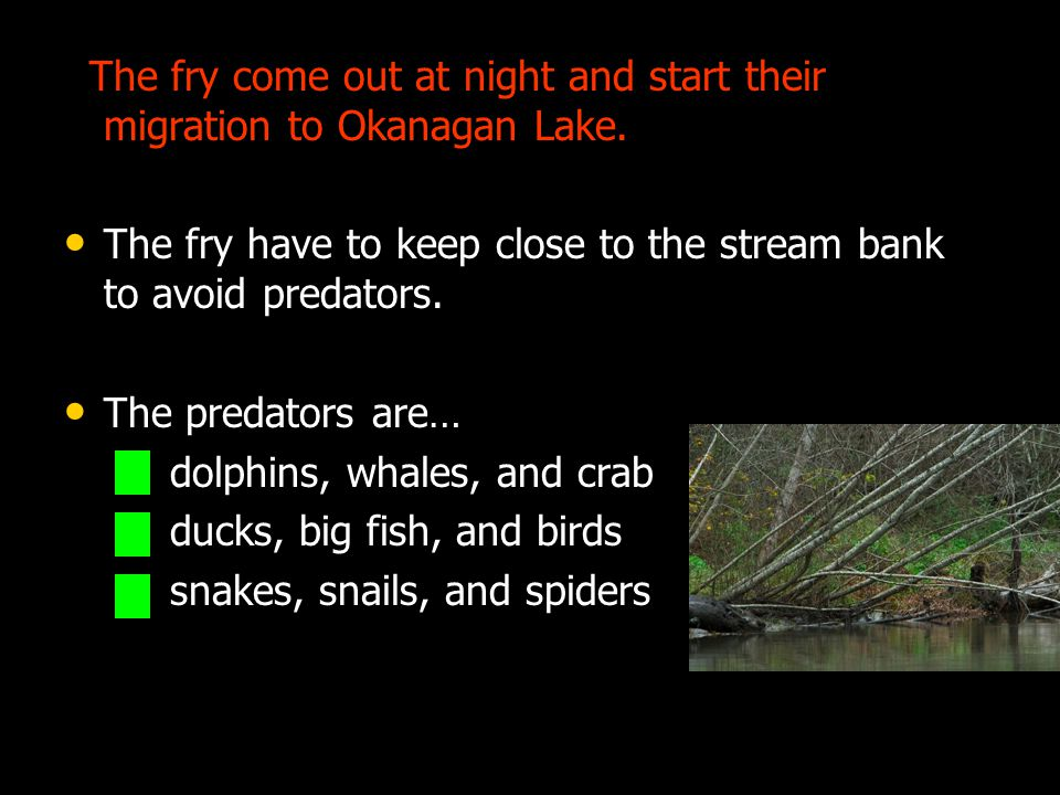 The fry come out at night and start their migration to Okanagan Lake.