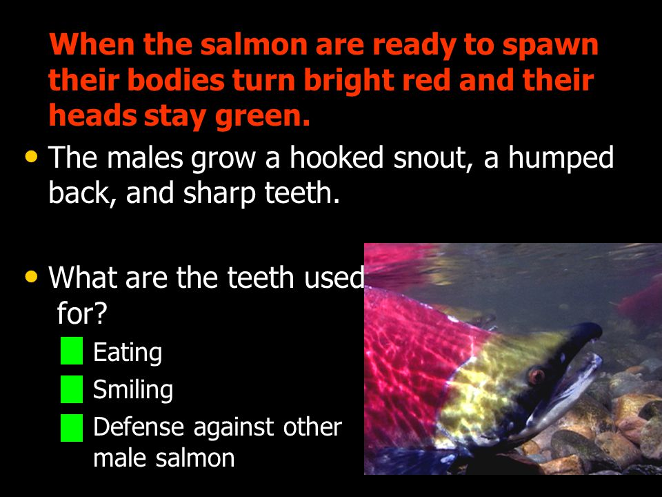 The males grow a hooked snout, a humped back, and sharp teeth.