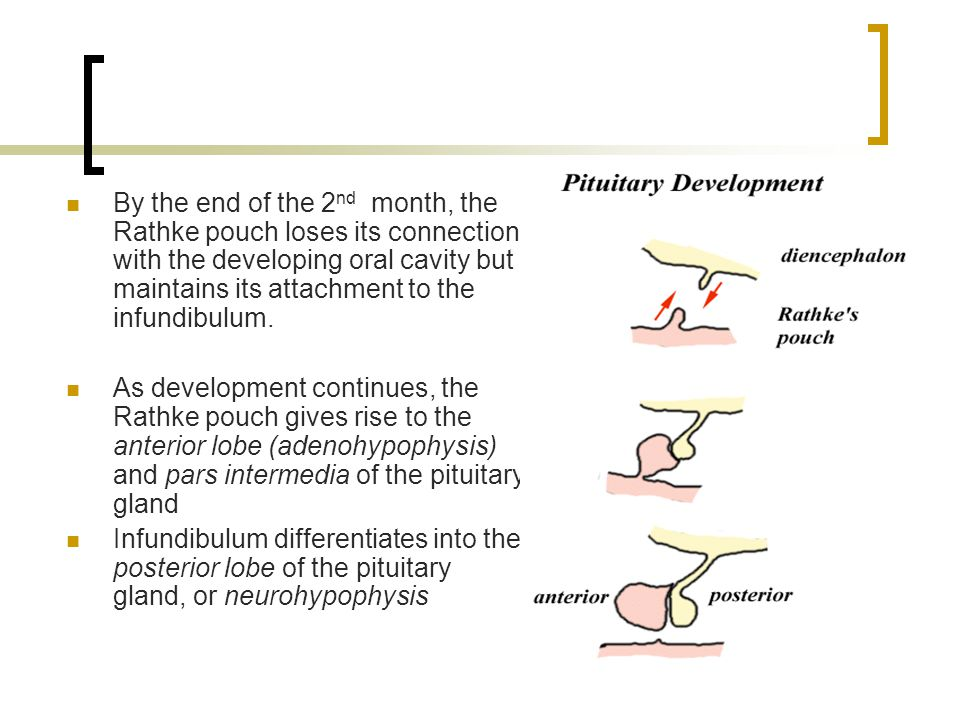 By the end of the 2nd month, the Rathke pouch loses its connection with the developing oral cavity but maintains its attachment to the infundibulum.