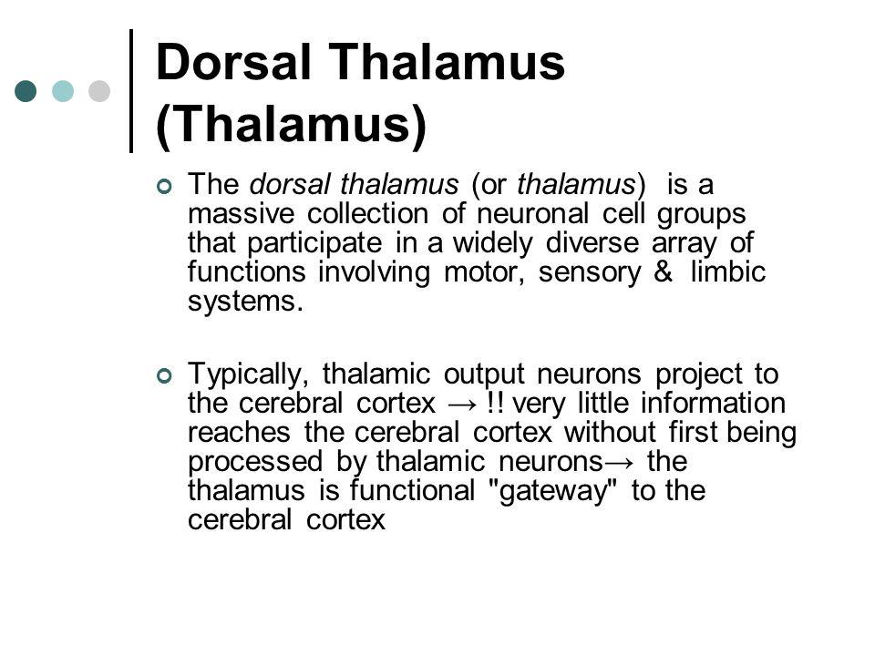 Dorsal Thalamus (Thalamus)