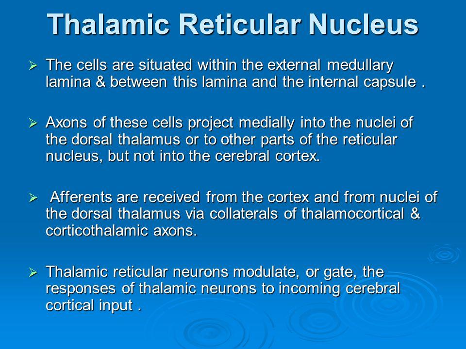 Thalamic Reticular Nucleus