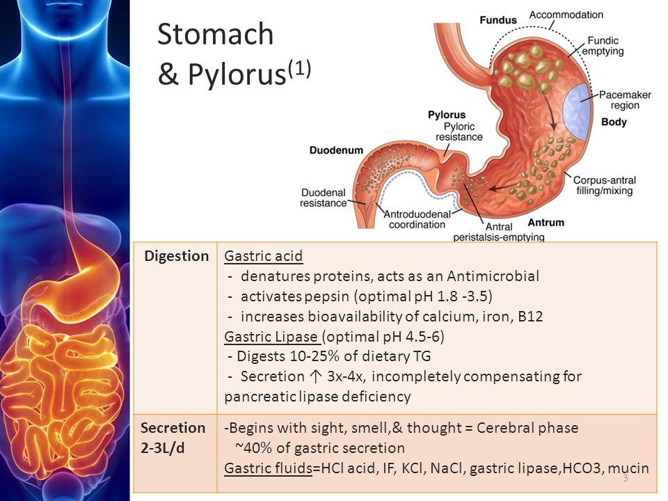 Stomach & Pylorus(1) Digestion Gastric acid
