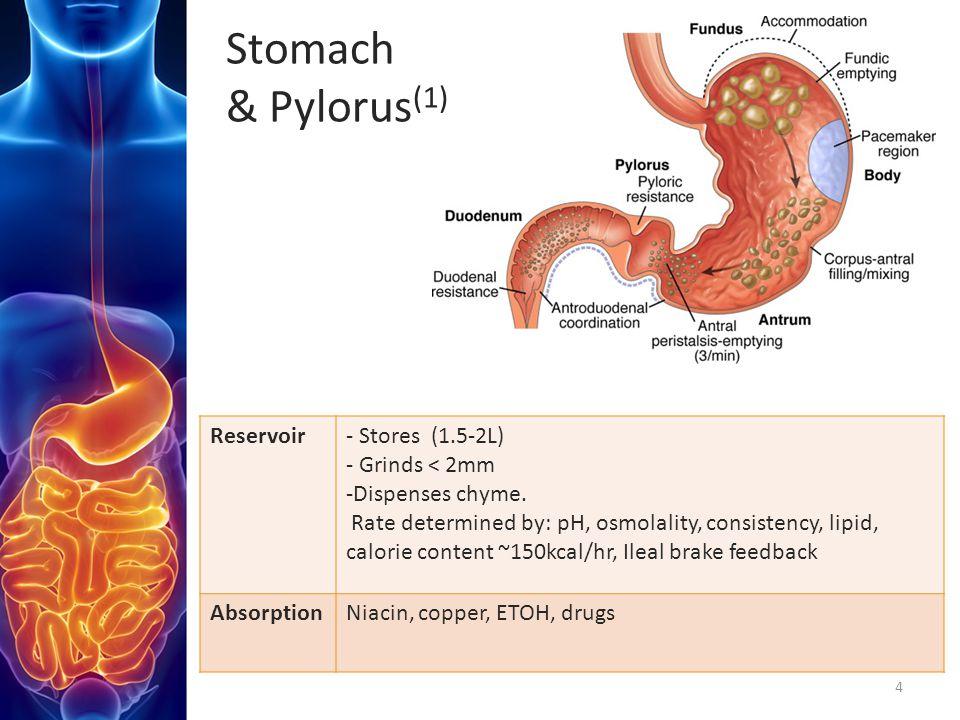 Stomach & Pylorus(1) Reservoir - Stores (1.5-2L) - Grinds < 2mm