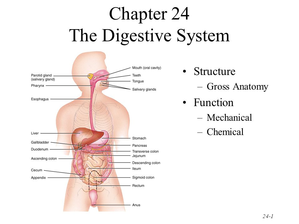 Chapter 24 The Digestive System Ppt Video Online Download