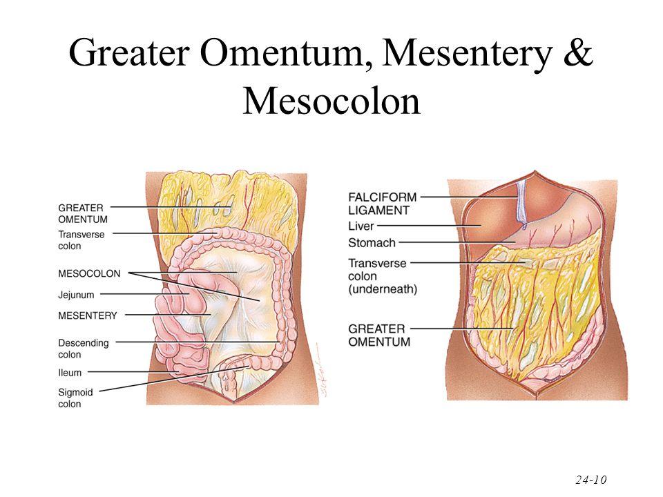 Greater Omentum, Mesentery & Mesocolon
