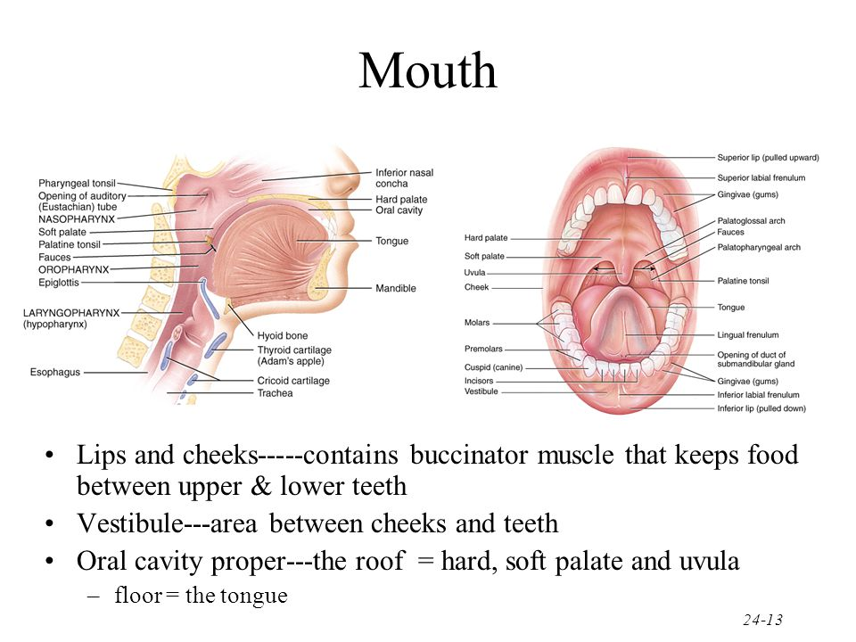 Mouth Lips and cheeks-----contains buccinator muscle that keeps food between upper & lower teeth. Vestibule---area between cheeks and teeth.