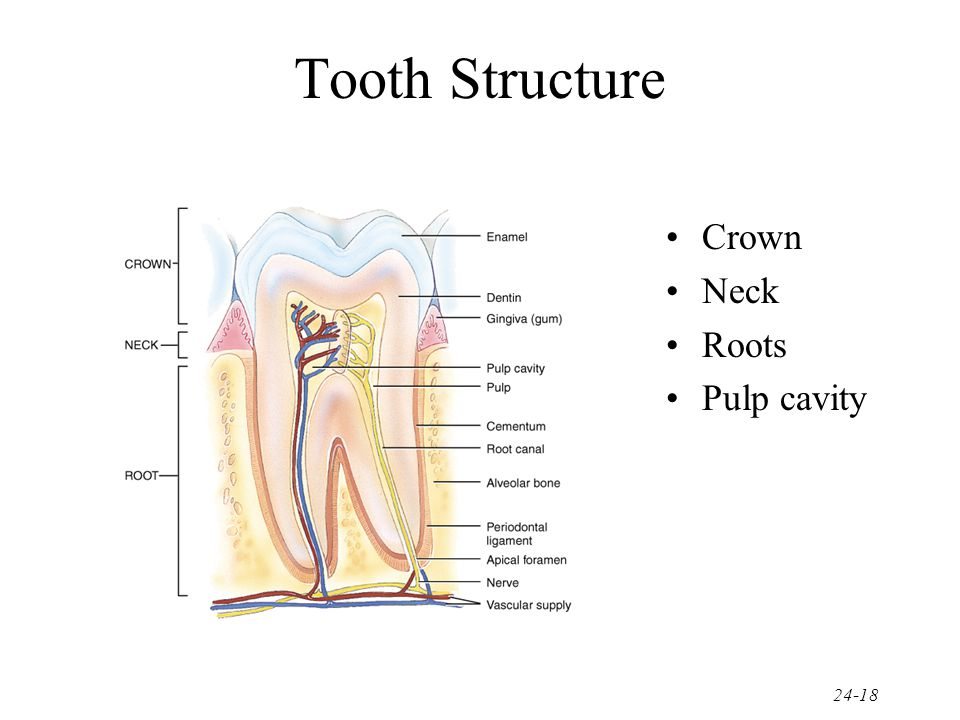 Tooth Structure Crown Neck Roots Pulp cavity