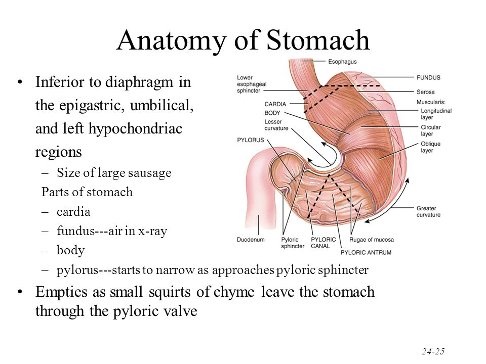 Anatomy of Stomach Inferior to diaphragm in the epigastric, umbilical,