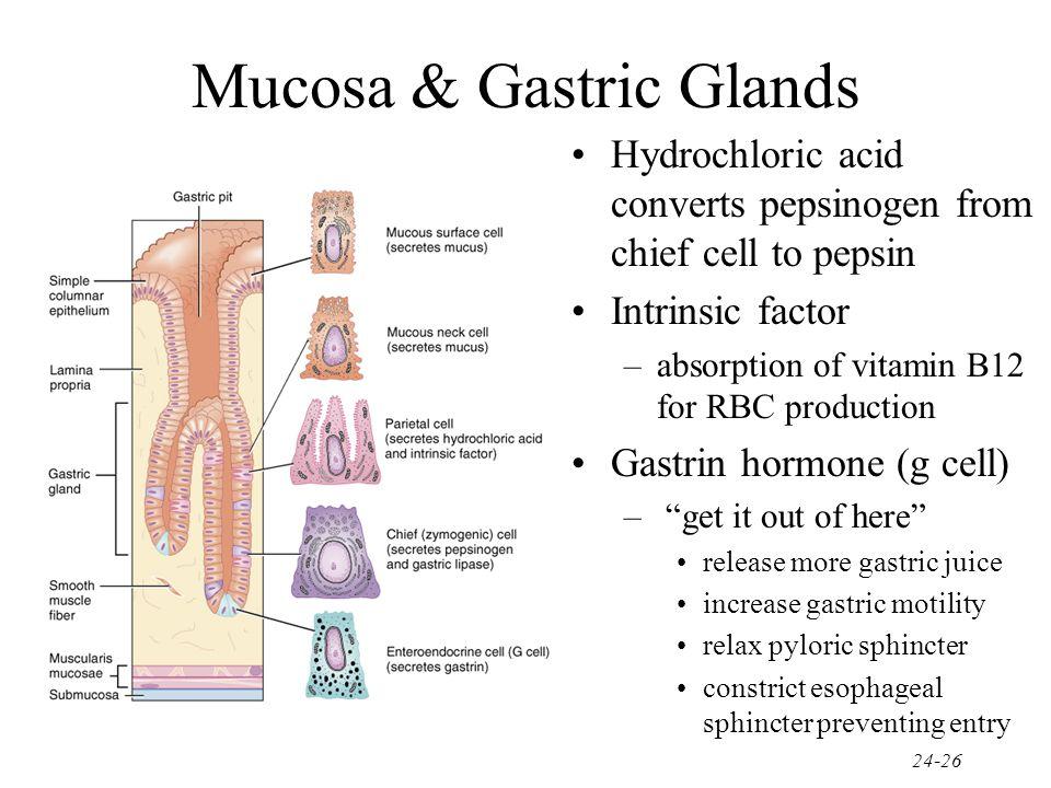 Mucosa & Gastric Glands