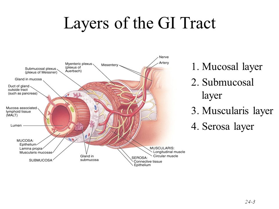 Layers of the GI Tract 1. Mucosal layer 2. Submucosal layer