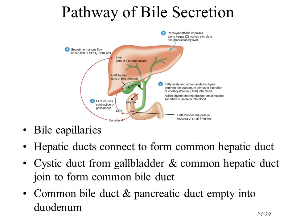 Pathway of Bile Secretion