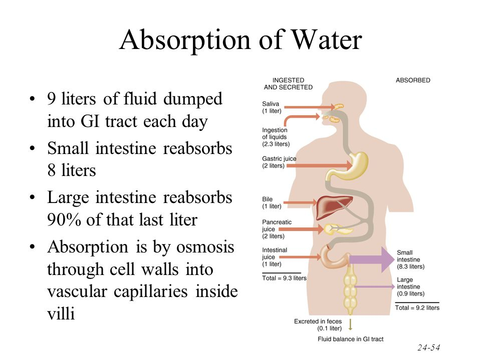 Absorption of Water 9 liters of fluid dumped into GI tract each day