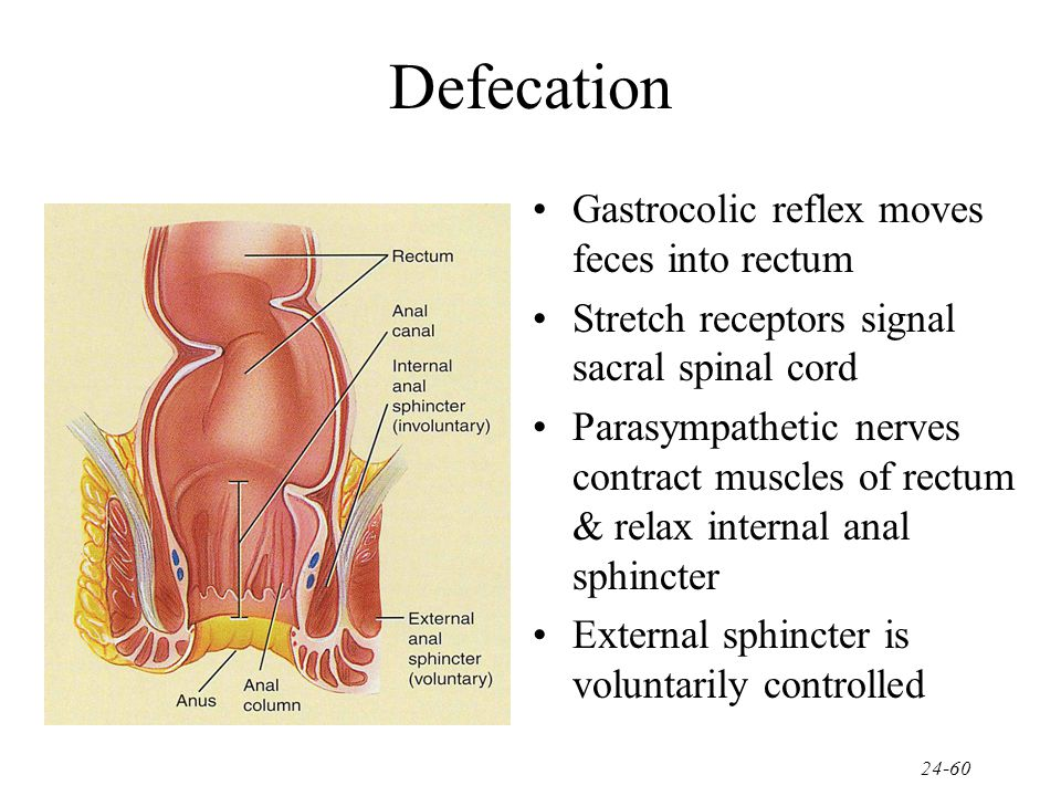 Defecation Gastrocolic reflex moves feces into rectum