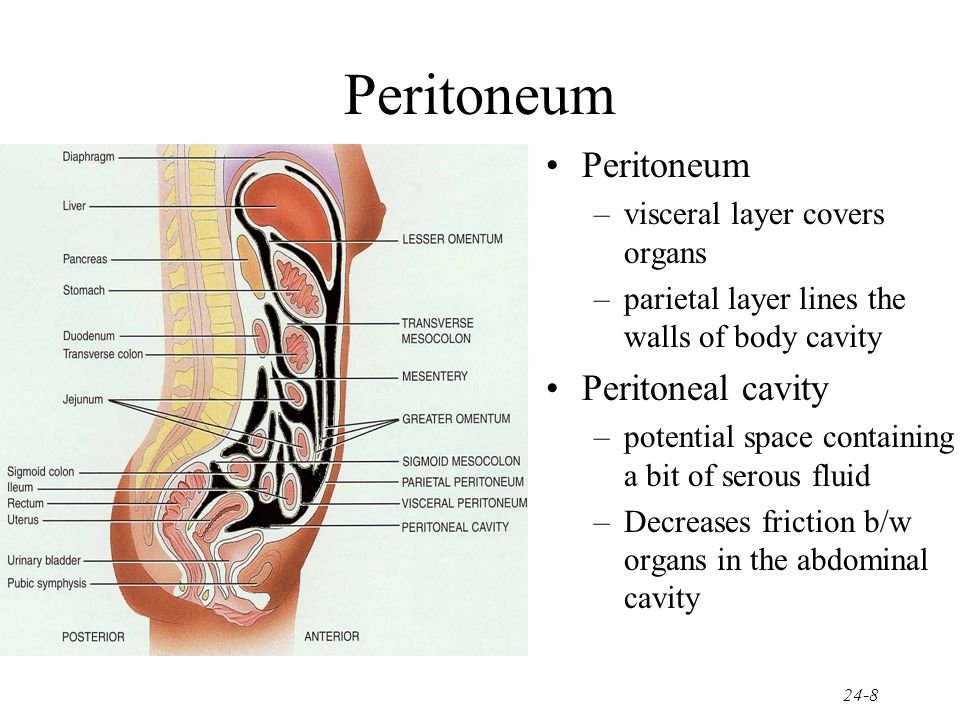 Peritoneum Peritoneum Peritoneal cavity visceral layer covers organs