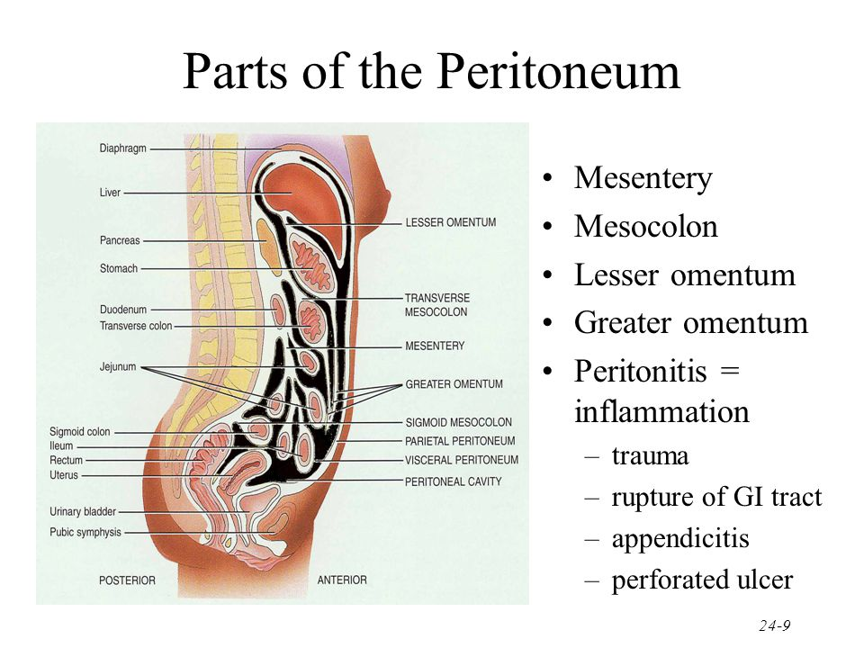 Parts of the Peritoneum