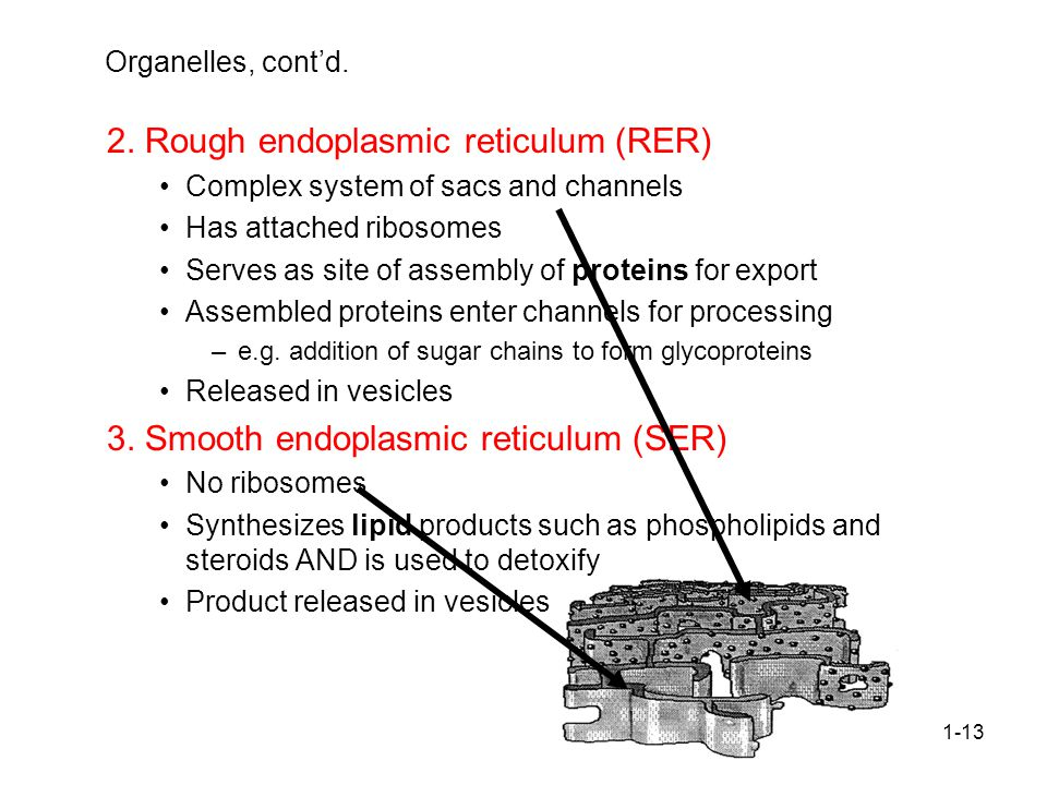 2. Rough endoplasmic reticulum (RER)