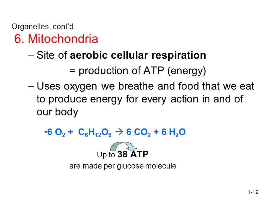 6. Mitochondria Site of aerobic cellular respiration