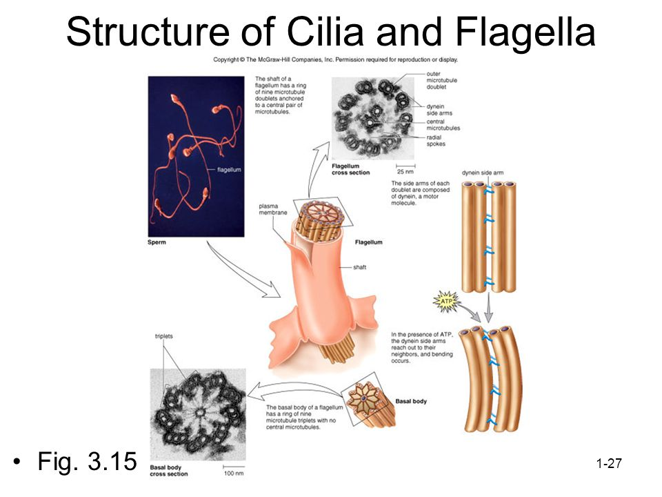 Structure of Cilia and Flagella