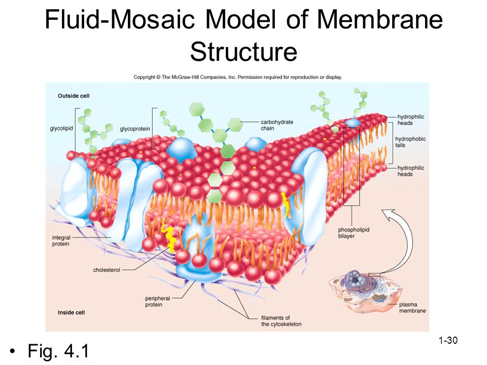Fluid-Mosaic Model of Membrane Structure
