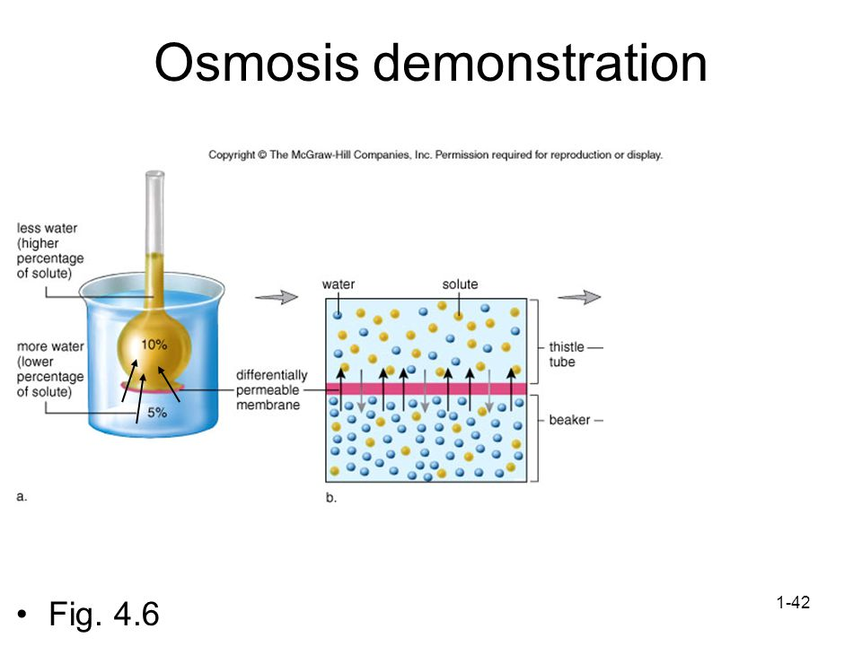 Osmosis demonstration