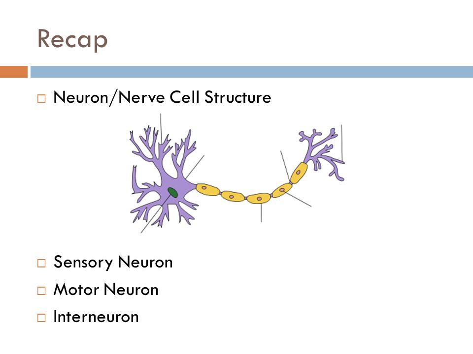 Recap Neuron/Nerve Cell Structure Sensory Neuron Motor Neuron