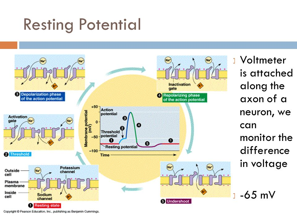Resting Potential Voltmeter is attached along the axon of a neuron, we can monitor the difference in voltage.