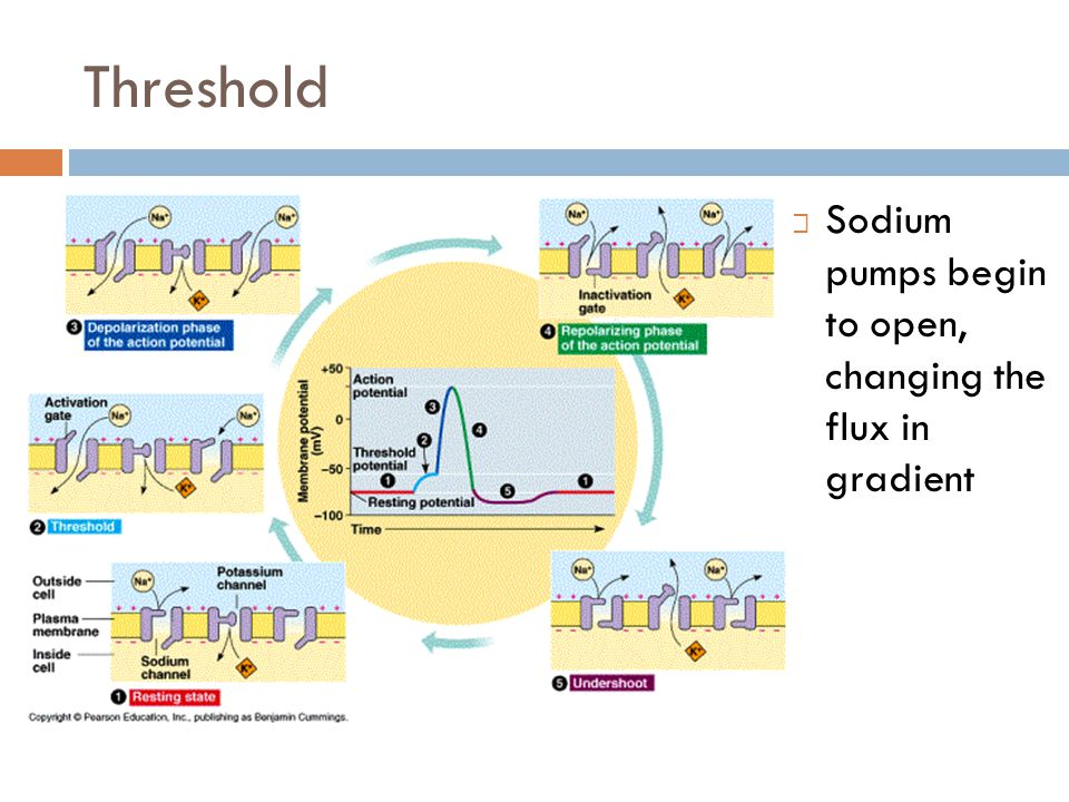 Threshold Sodium pumps begin to open, changing the flux in gradient