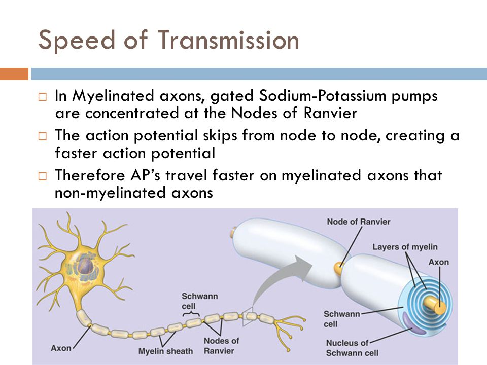 Speed of Transmission In Myelinated axons, gated Sodium-Potassium pumps are concentrated at the Nodes of Ranvier.