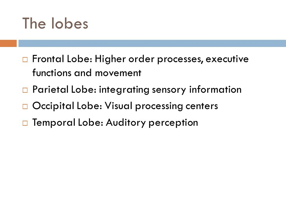 The lobes Frontal Lobe: Higher order processes, executive functions and movement. Parietal Lobe: integrating sensory information.