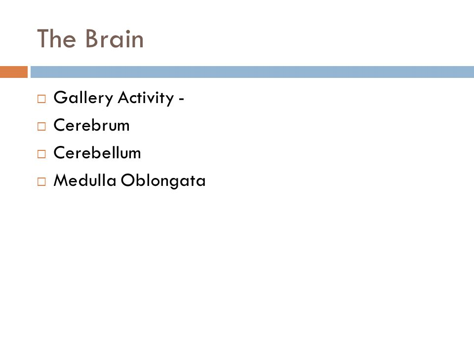 The Brain Gallery Activity - Cerebrum Cerebellum Medulla Oblongata