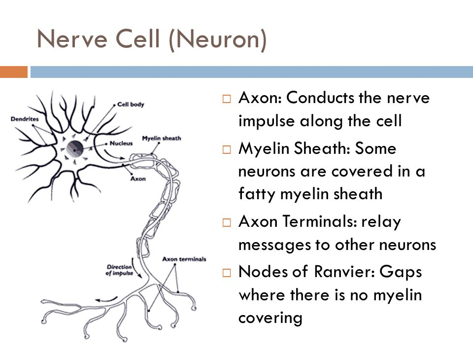 Nerve Cell (Neuron) Axon: Conducts the nerve impulse along the cell