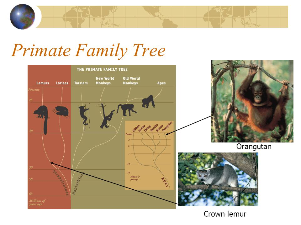 Primate Family Tree Orangutan Crown lemur