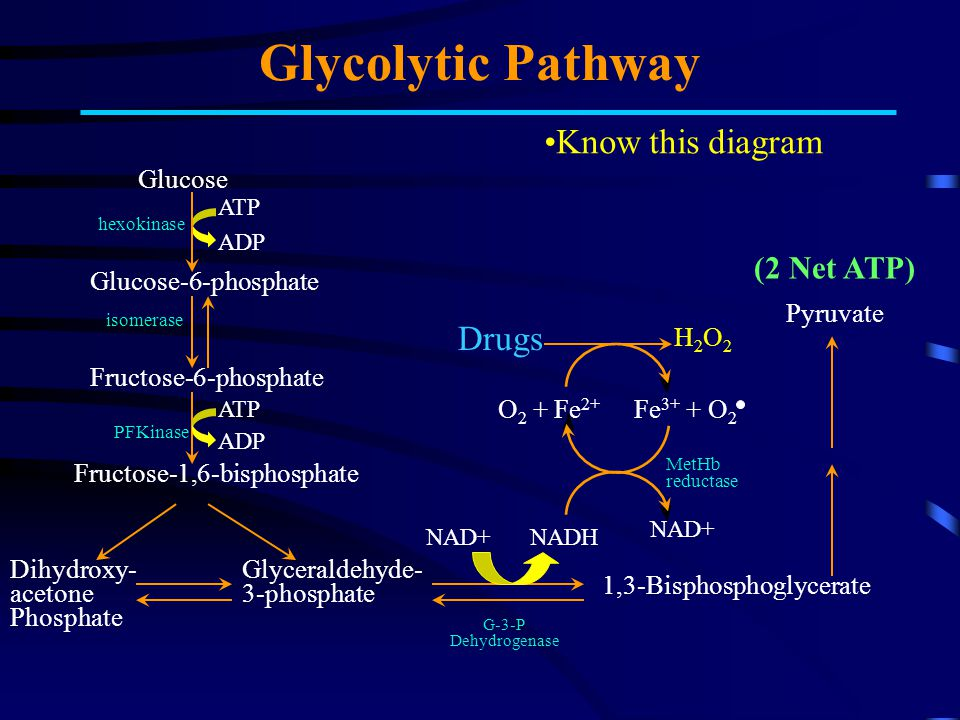 Glycolytic Pathway Know this diagram Drugs (2 Net ATP) Glucose
