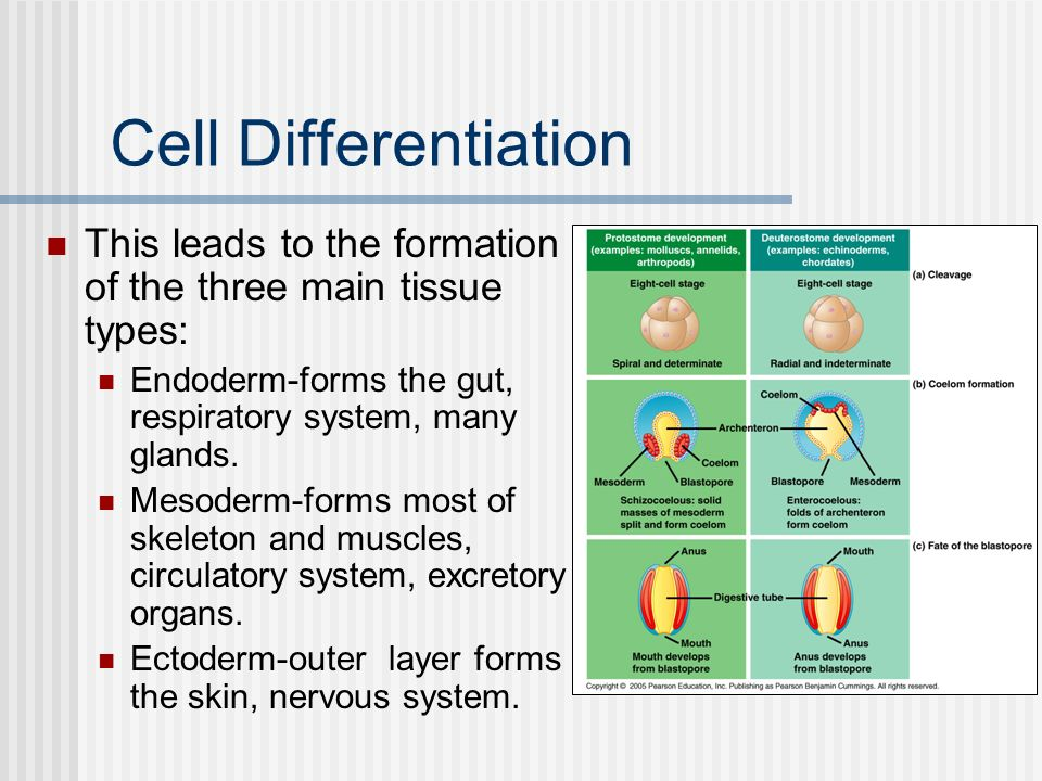 Cell Differentiation This leads to the formation of the three main tissue types: Endoderm-forms the gut, respiratory system, many glands.